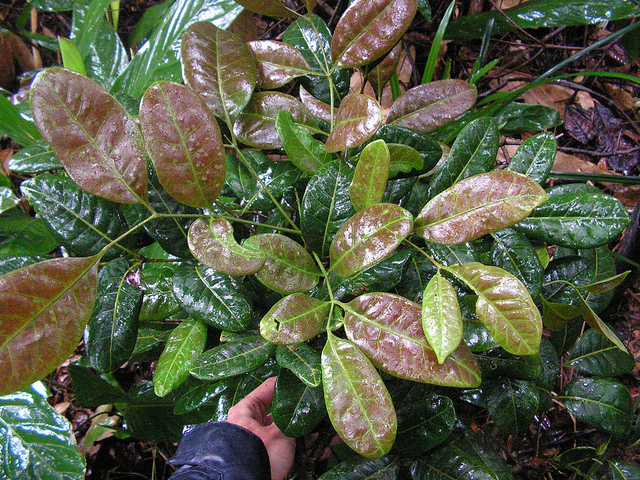 How Does Catuaba Bark Extract Work